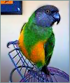 Pico the parrot
